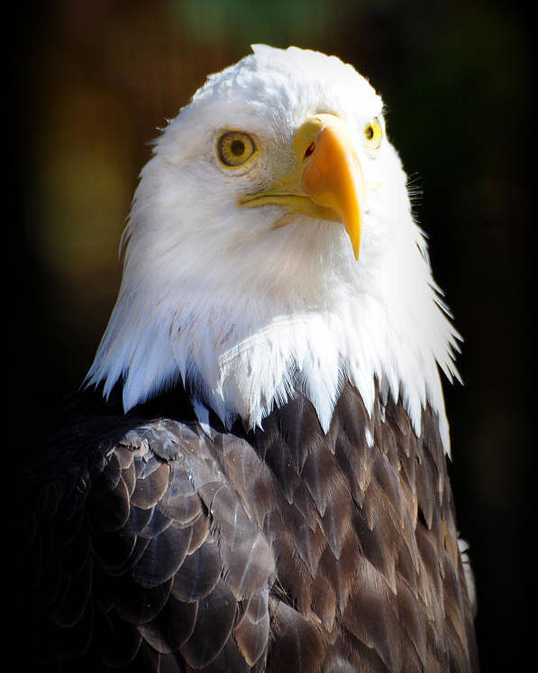 Eagle Poster featuring the photograph Eagle 14 by Marty Koch