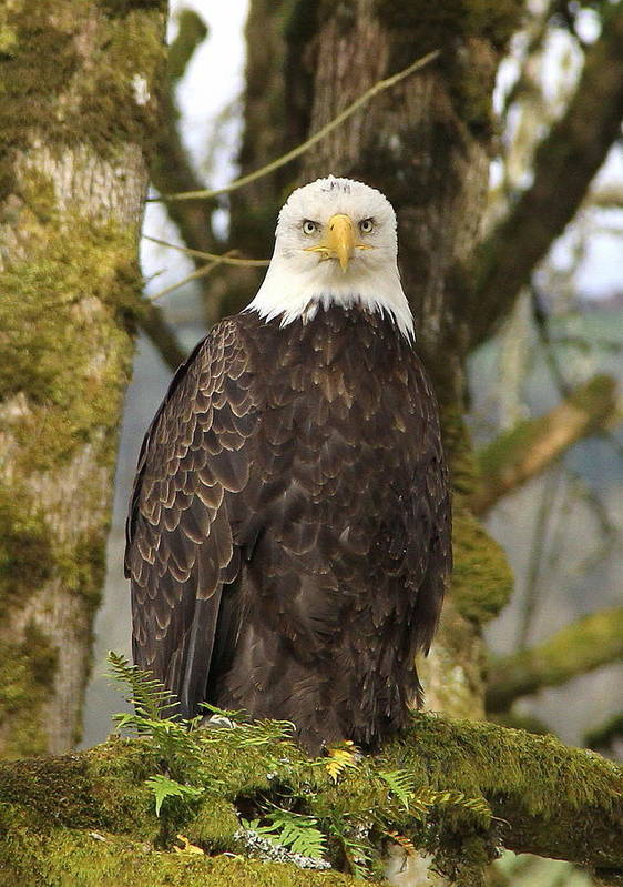 Eagle Poster featuring the photograph Eagle Eyes by Angie Vogel