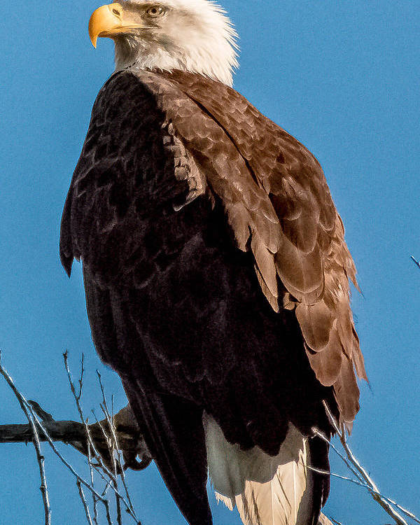 Bald Eagle Poster featuring the photograph Eagle Of The Salt River by Ronald Hunt