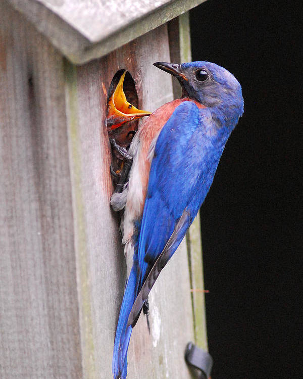 Songbird Poster featuring the photograph Eastern Bluebird And Chick by Alan Lenk
