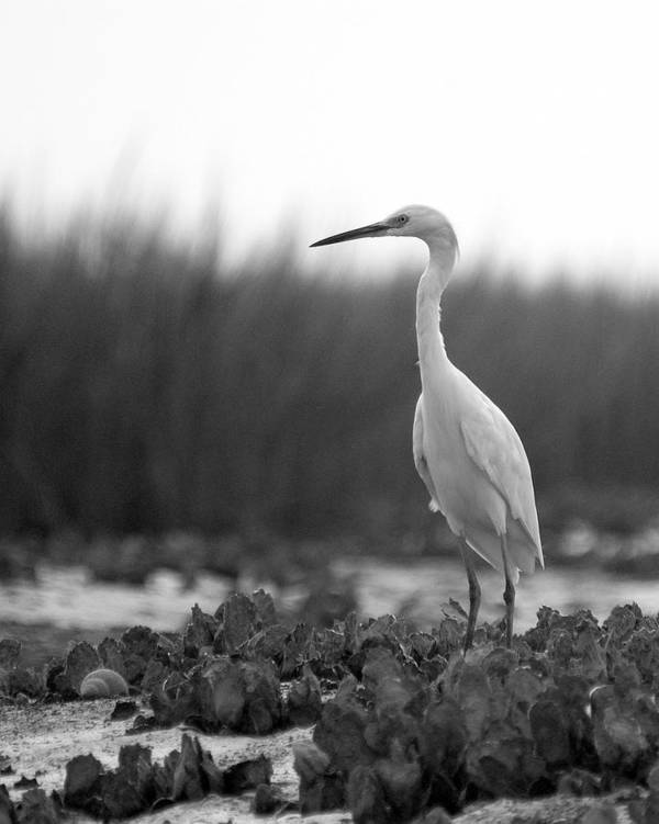 Egret Poster featuring the photograph Egret Grazing by William Haney
