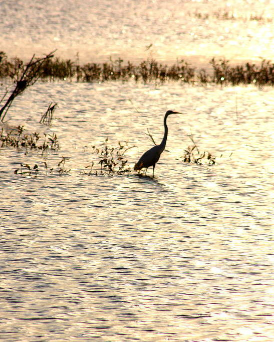 Egret Poster featuring the photograph Egret In Sunset Water by Diane Merkle