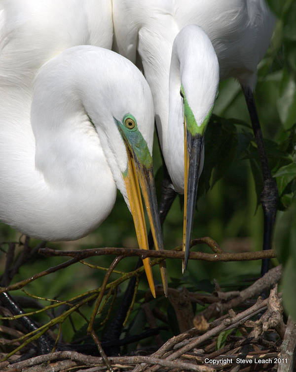 Egrets Poster featuring the photograph Egret Pair by Steve Leach