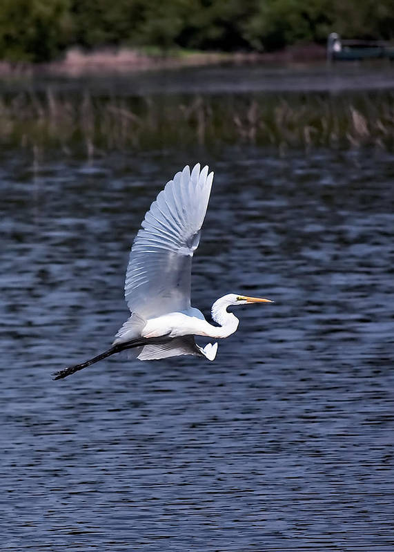 Egrets Poster featuring the photograph Egret Vi by Gary Adkins
