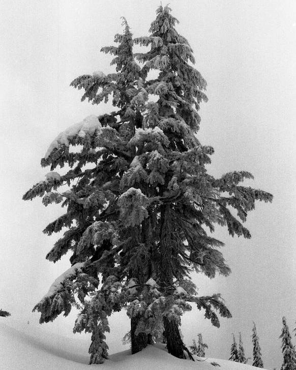 Snow Poster featuring the photograph Embrace by Lyle Crump