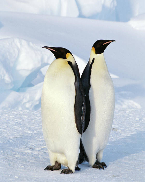 Vertical Poster featuring the photograph Emperor Penguins, Weddell Sea by Joseph Van Os