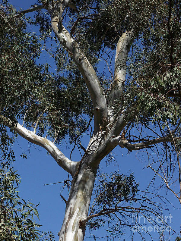 Trees Poster featuring the photograph Eucalyptus by Kathy McClure