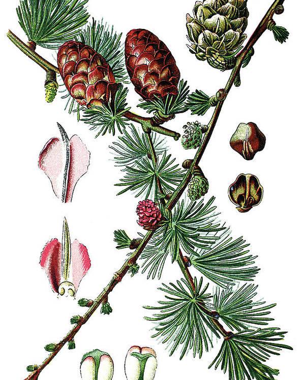 European Larch Poster featuring the drawing European Larch, Pinus Larix by Bildagentur-online