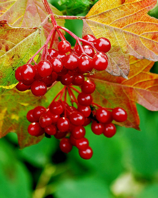 Autumn Poster featuring the photograph Fall Berries by Michael Peychich