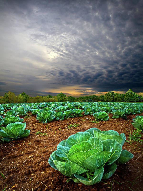 Horizons Poster featuring the photograph Fall Cabbage by Phil Koch