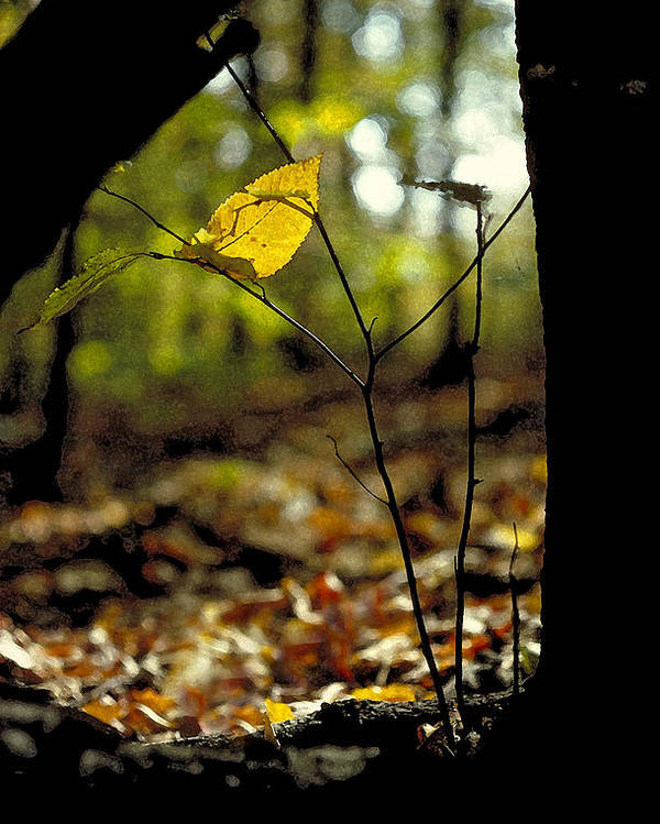 Leaf Poster featuring the photograph Fall Leaf And Twig by Thomas Firak