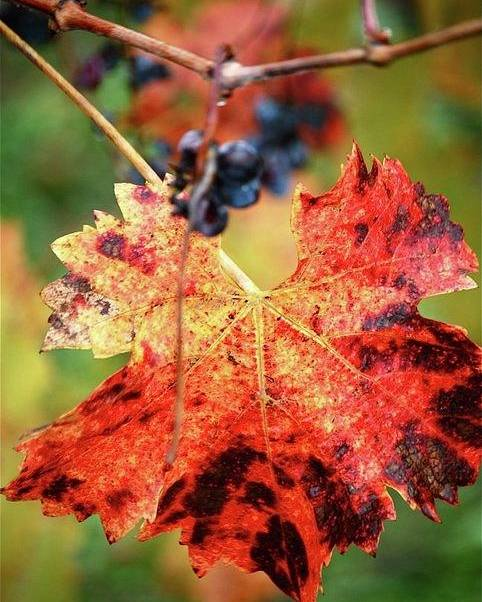 Leaves Poster featuring the photograph Fall Vine by Lori Leigh