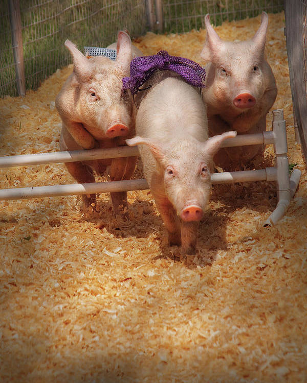 Pig Poster featuring the photograph Farm - Pig - Getting Past Hurdles by Mike Savad
