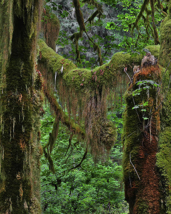 Rainforest Poster featuring the photograph Fascinating Hoh Valley - Hoh Rain Forest Olympic National Park Onp Wa Usa by Christine Till
