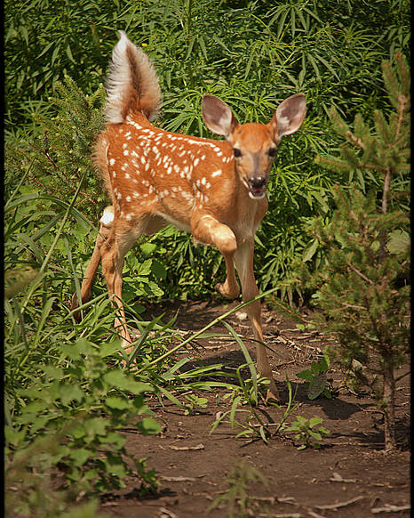 Photograph Poster featuring the photograph Fawn Approaching by Don Krajewski