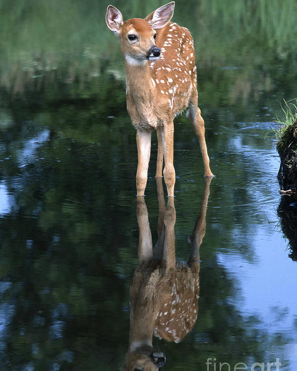 Deer Poster featuring the photograph Fawn Reflection by Sandra Bronstein
