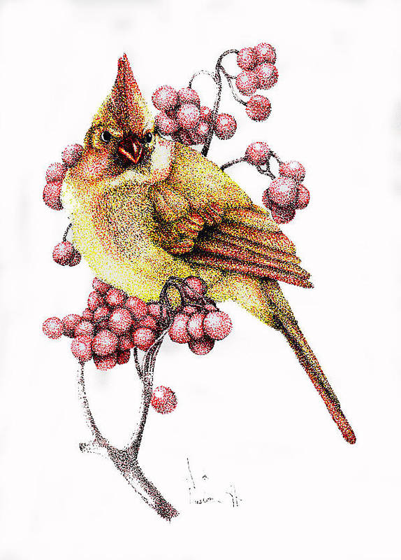 Color Pen And Ink Poster featuring the drawing Female Cardinal by Preston Shupp