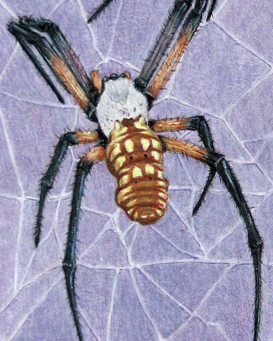 Fuqua - Artwork Poster featuring the drawing Female Orb Spider by Beverly Fuqua