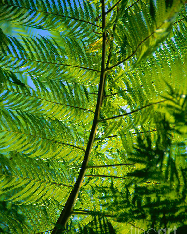Afternoon Poster featuring the photograph Fern Detail by Himani - Printscapes