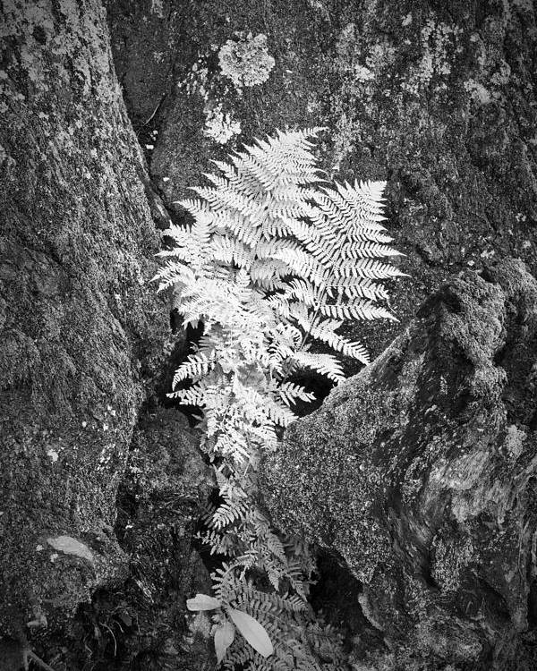 Fern Poster featuring the photograph Fernglow by Harry H Hicklin