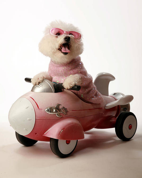Akc Poster featuring the photograph Fifi Is Ready For Take Off In Her Rocket Car by Michael Ledray