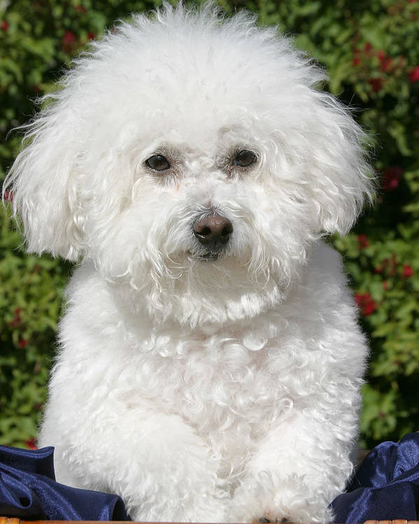 Animal Poster featuring the photograph Fifi The Bichon by Michael Ledray