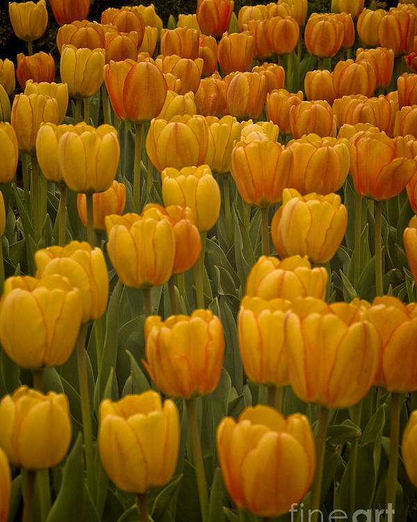 Yellow Poster featuring the photograph Fine Lines In Yellow Tulips by Michael Flood