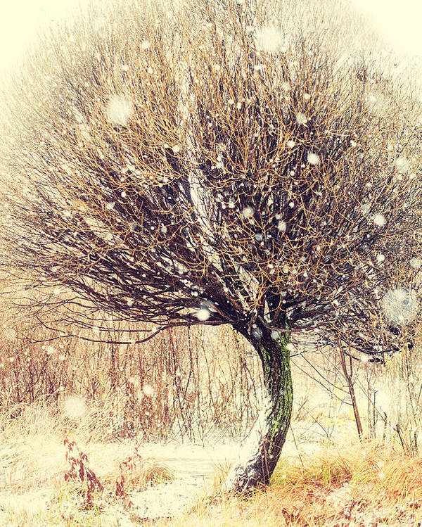 Snow Poster featuring the photograph First Snow. Snow Flakes by Jenny Rainbow