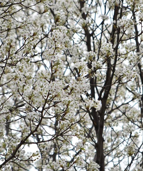 Flowering Tree Poster featuring the photograph First Spring Blossom by Linda Benoit