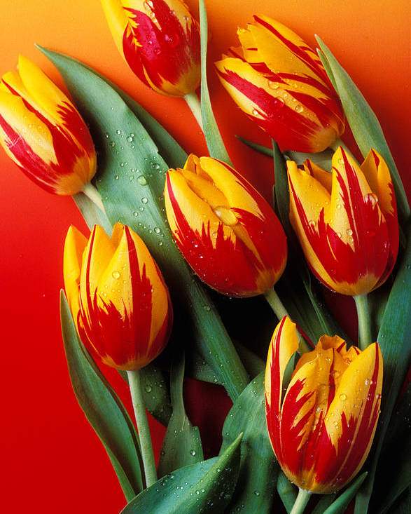 Tulip Poster featuring the photograph Flame Tulips by Garry Gay