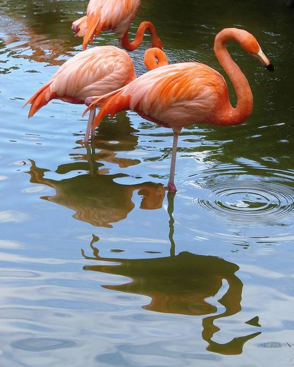 Flamingo Poster featuring the photograph Flamingo Reflections by Margaret Bobb