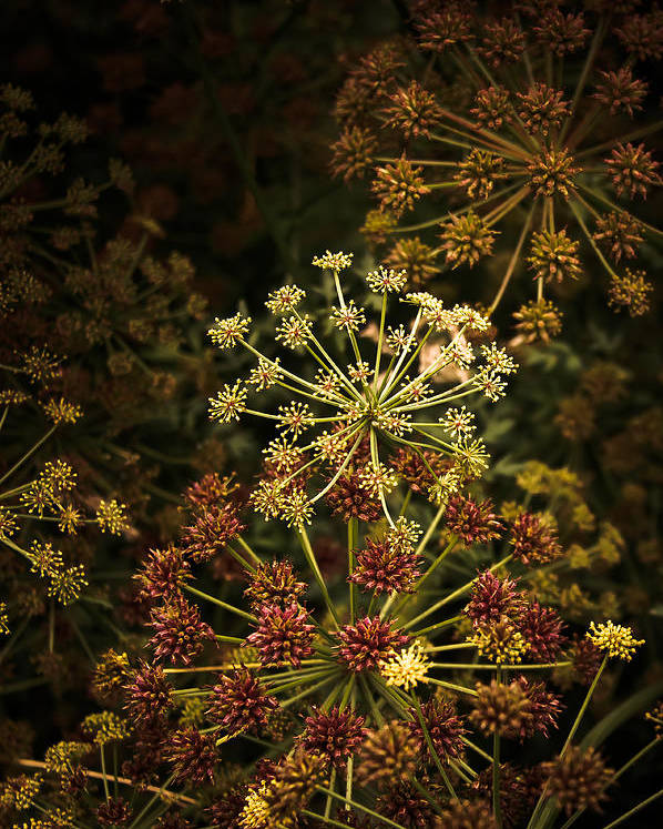 Loriental Poster featuring the photograph Floral Fireworks #02 by Loriental Photography