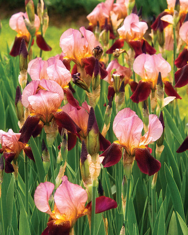 Bloom Poster featuring the photograph Flower - Iris - Gy Morrison by Mike Savad