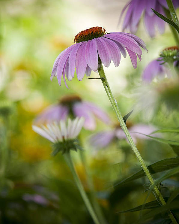 Echinacea Purpurea Poster featuring the photograph Flowers In Bloom by Chad Davis