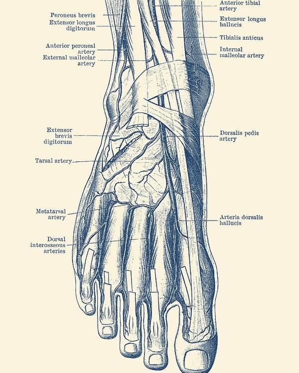 Foot Diagram Human Circulatory System Poster By Vintage Anatomy Prints
