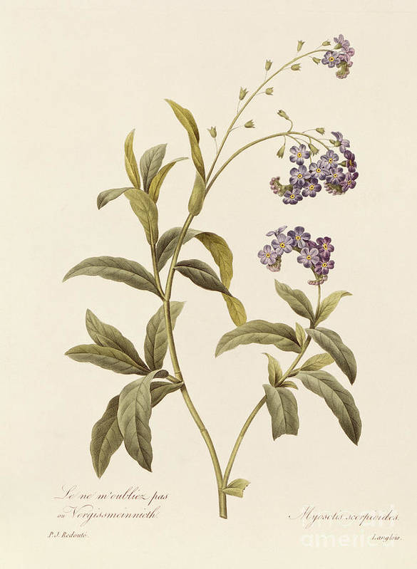 Forget-me-not Poster featuring the drawing Forget Me Not by Pierre Joseph Redoute