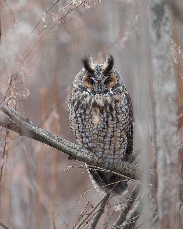 Long Eared Owl Poster featuring the photograph Framework by Rodney Ervin