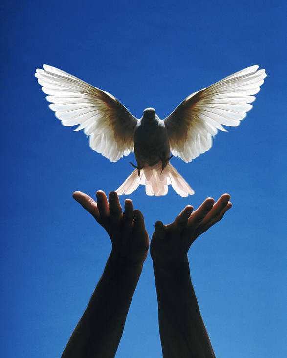 Potential; Creative; Creativity; Hands; Dove; Bird; Freedom; Release; Flight; Wing; Wings; Peace; Peaceful; Escape; Graceful; Feather; Feathers Poster featuring the photograph Freedom by Gerard Fritz