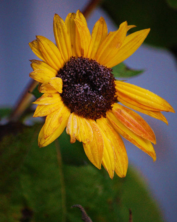 Flower Poster featuring the photograph Frosty Sunflower by Jame Hayes
