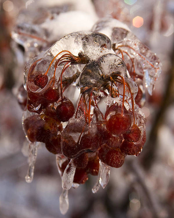Berry Berries Red Frozen Ice Icy Snow White Spark Tree Winter Storm Glare Sun Reflection Poster featuring the photograph Frozen Berries by Andrei Shliakhau