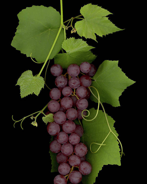 Grapes Poster featuring the mixed media Fruit Of The Vine by Sandi F Hutchins