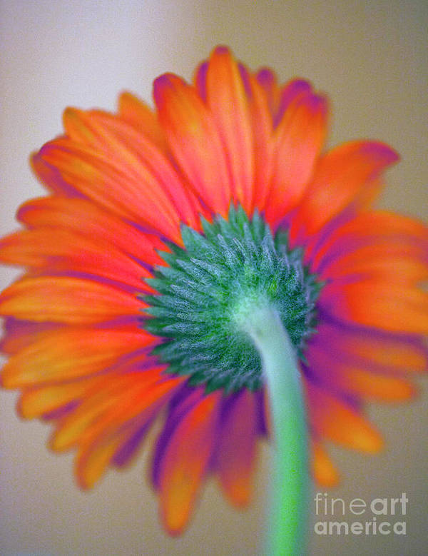 Gerbera Poster featuring the photograph Funky Gerbera by Amanda Barcon