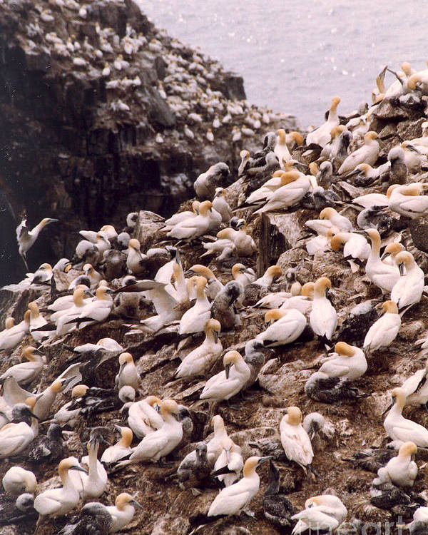 Gannet Poster featuring the photograph Gannet Cliffs by Mary Mikawoz