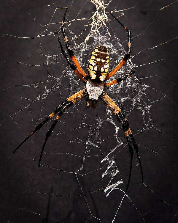 Spider Poster featuring the photograph Garden Spider And Web by Tamyra Ayles
