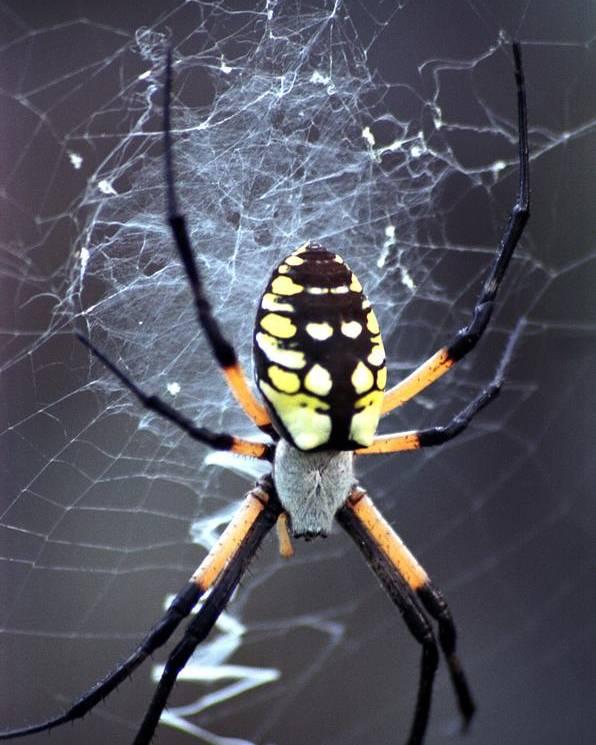 Garden Spider Poster featuring the photograph Garden Spider by Bob Guthridge