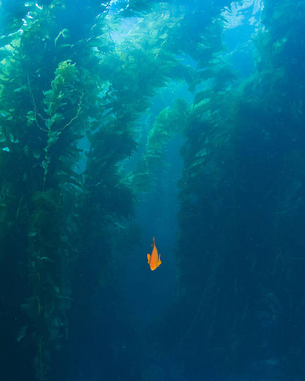 Animal Theme Poster featuring the photograph Garibaldi Fish In Giant Kelp Underwater by James Forte