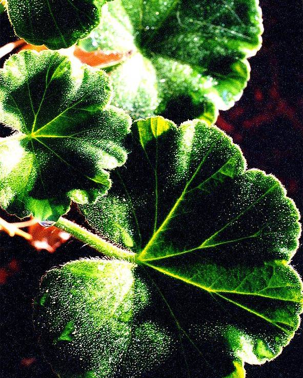 Geraniums Poster featuring the photograph Geranium Leaves by Nancy Mueller