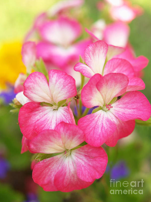 Flowers Poster featuring the photograph Geraniums On A Brilliant Summer Day by Dorothy Lee