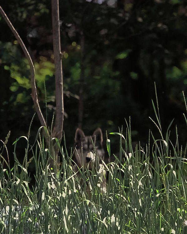 Canine Poster featuring the photograph Ghost Wolf by DigiArt Diaries by Vicky B Fuller