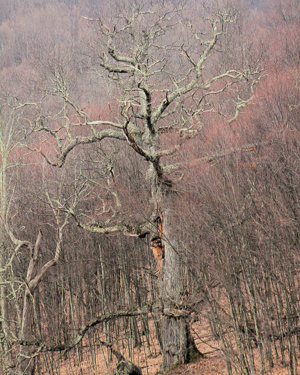 Trees Poster featuring the photograph Giant Oak Tree by Carolyn Postelwait